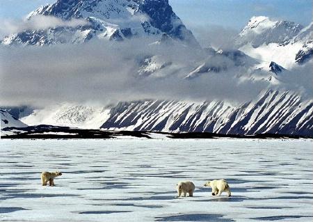 Polar Bears Crossing Ice Pack