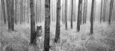November 2000 Photo Contest Grand Prize Winner - Lone Wolf in Aspen