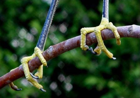 Yellow Talons