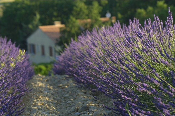 A Home Among Lavender