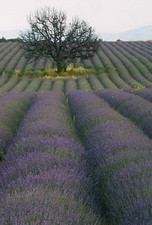 Lone Oak Among Lavender