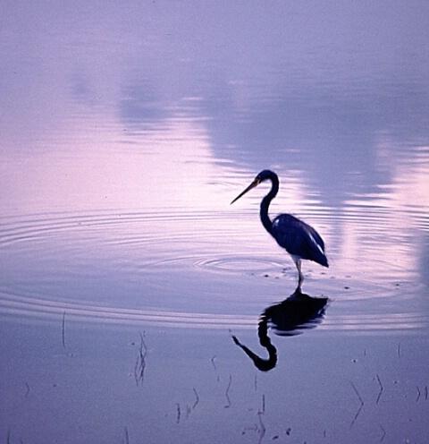 طيور الماء