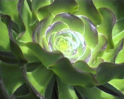 Succulent