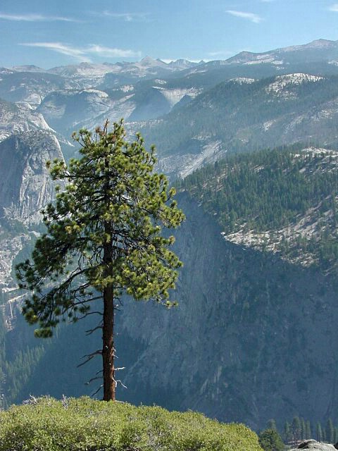 A Tree's View Of Yosemite Valley