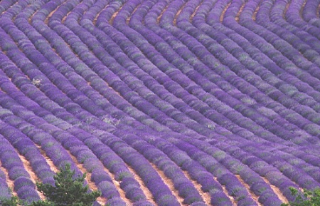 Lavender Waves