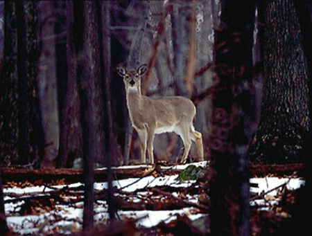 """Winter Whitetail"""