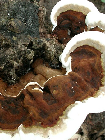 Foamy Fungus