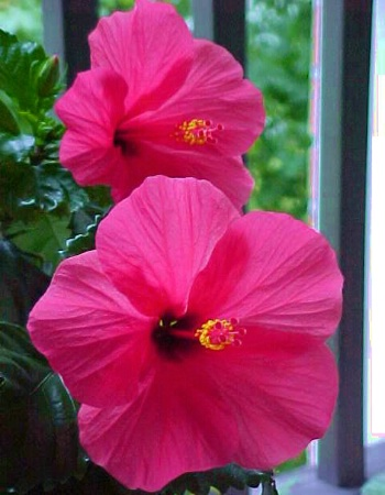 Heavenly Hibiscus