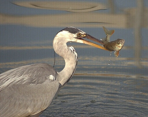 Heron with perch
