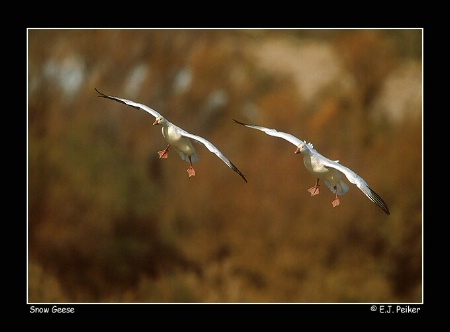 Snow Geese, Flight of Two, Cleared to Land