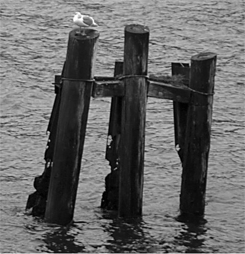Gull on a log.