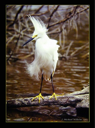 Snowy Egret No. 2