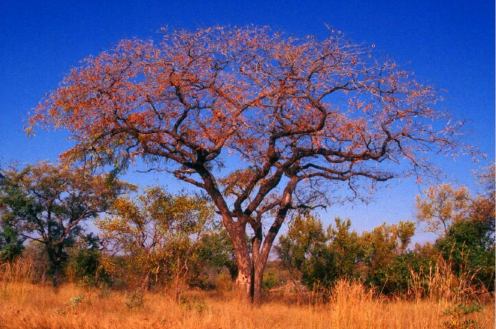 An African Tree