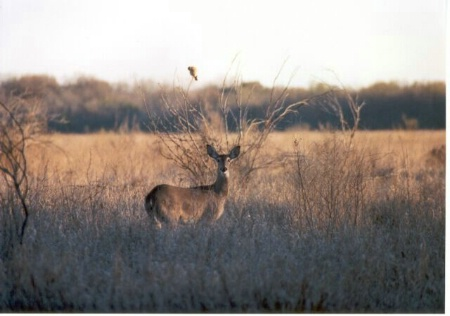 Bird & Deer In Field