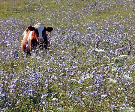 Pasture In Bloom