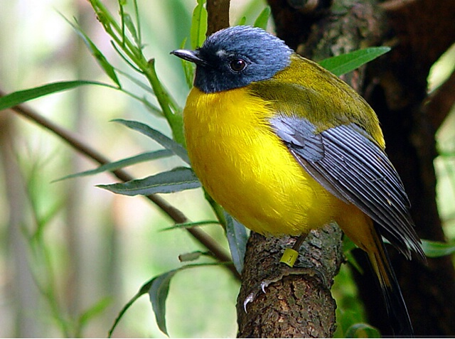 Blue & Yellow Bird