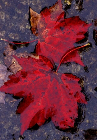 Red leaves in pool