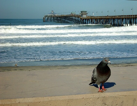 Pigeon and Pier
