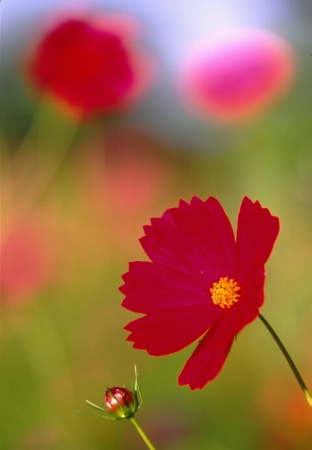 soft_poppies.tif
