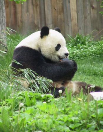 Panda # 1