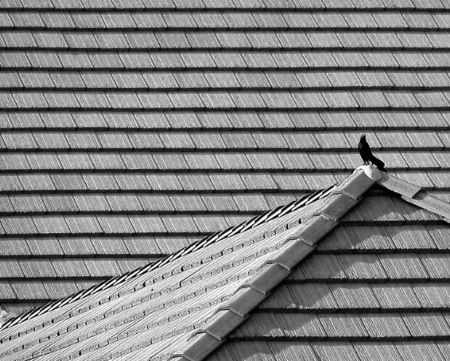 Blackbird on a Hot Tile Roof