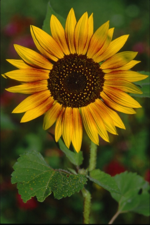 sunflower_large.tif