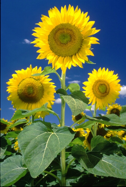 Sunflower_2.tif