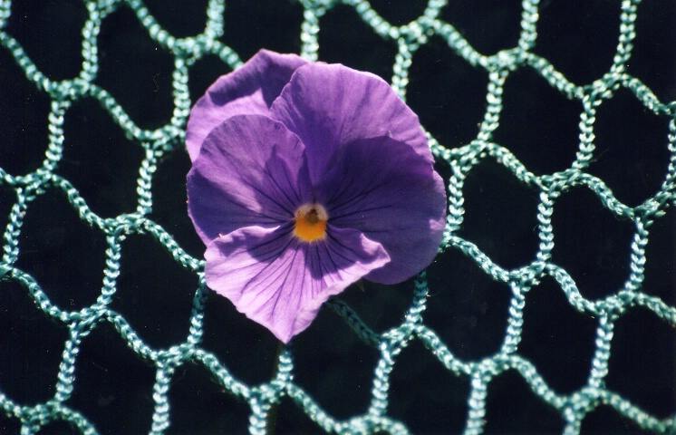 Suspended Pansy