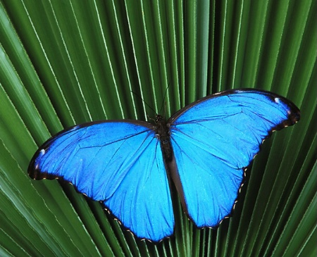 Male Morpho Butterfly