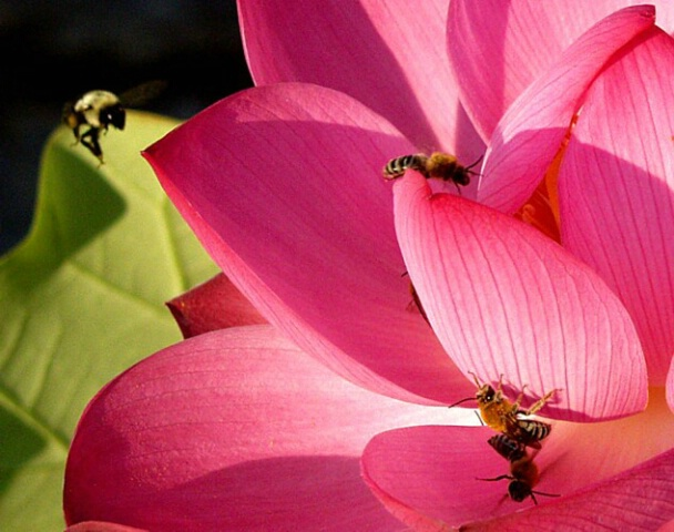 Bee in the Pink