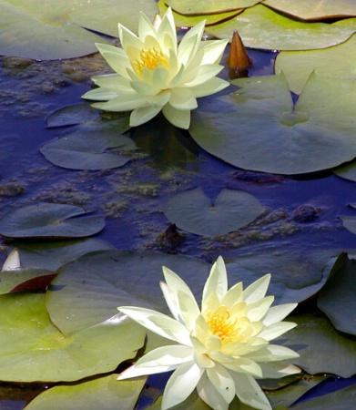 Lotus Pray
