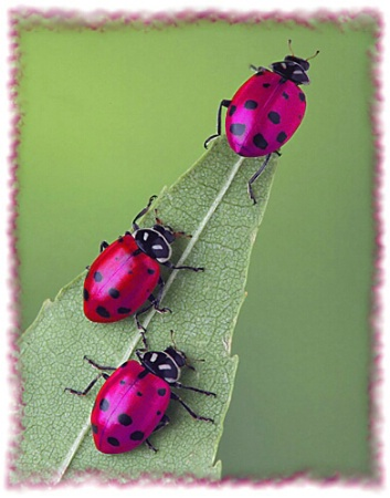 Metallic Ladybugs