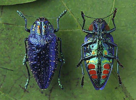 Metallic Woodboring Beetles