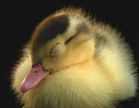 Slumbering Duckling