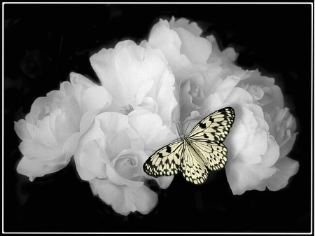 White Roses with Butterfly