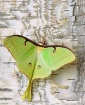 September 2002 Photo Contest Second Place Winner - American Moon Moth
