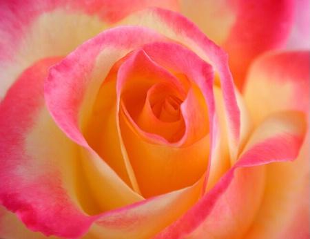 A Beauty Of A Rose