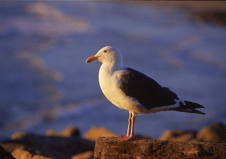 Seagull Portrait 2