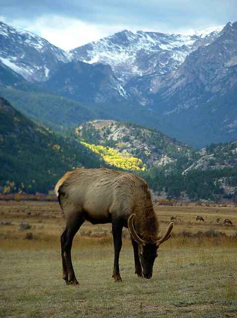 Elk Of The Rockies