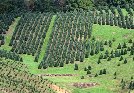 """Christmas tree farm"""