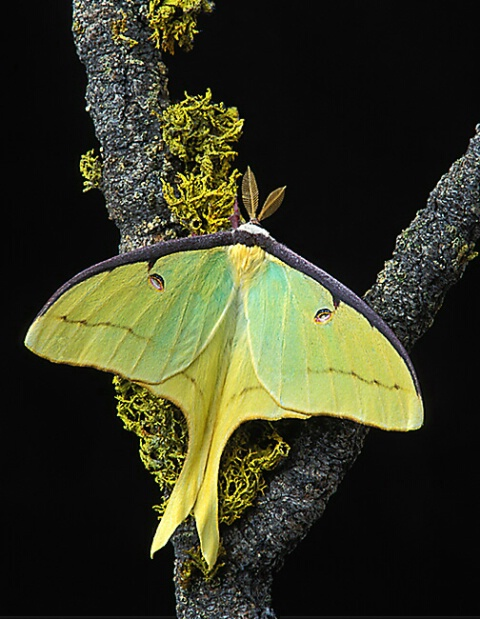 Male Luna Moth Resting on Pine