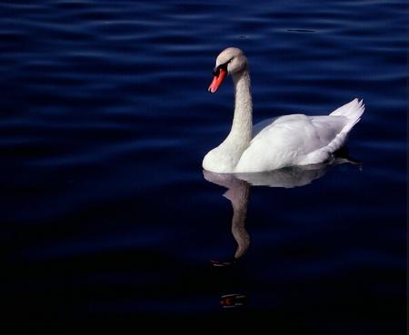 A Florida Swan