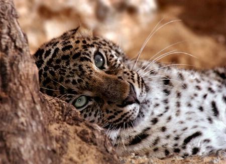 Dreaming Leopard