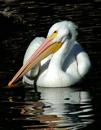 Pulchritudinous Pelican