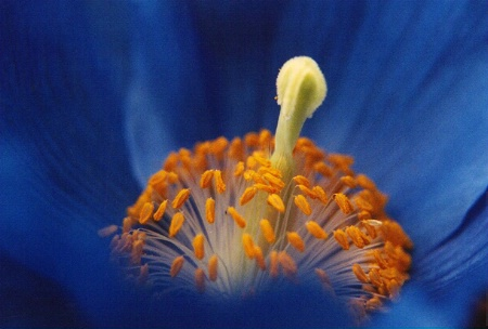 Blue Poppy .....  Up Close