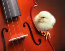 fiddle chick