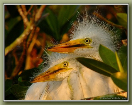 American 'Great' Egret Young