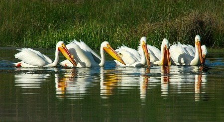 Pelican Committee