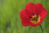 Tulip Under Cherry Tree
