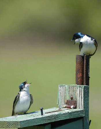 Quarrelling Tree Swallows